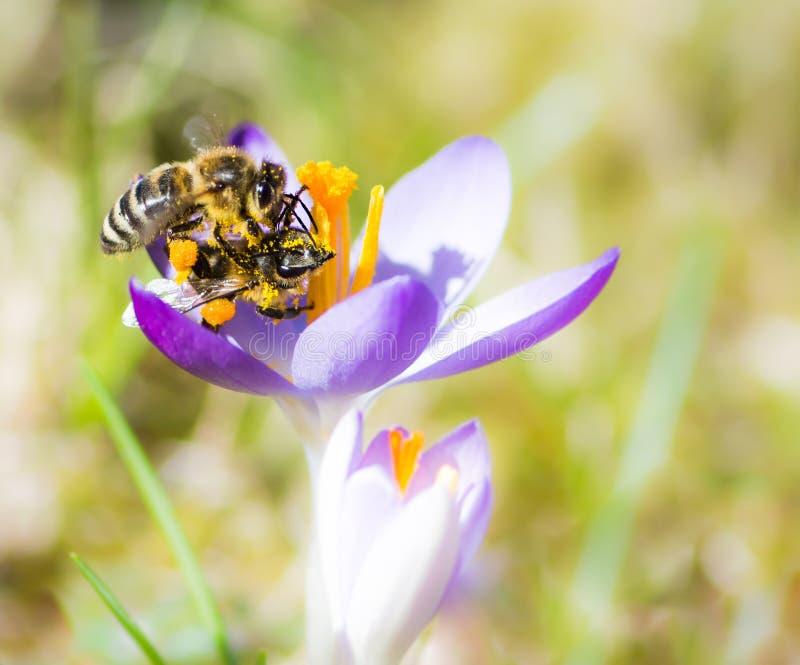 Abelha do voo que poliniza uma flor roxa do açafrão foto de stock royalty free
