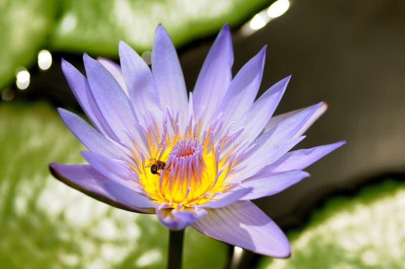 abelha e água lilly fotos de stock royalty free