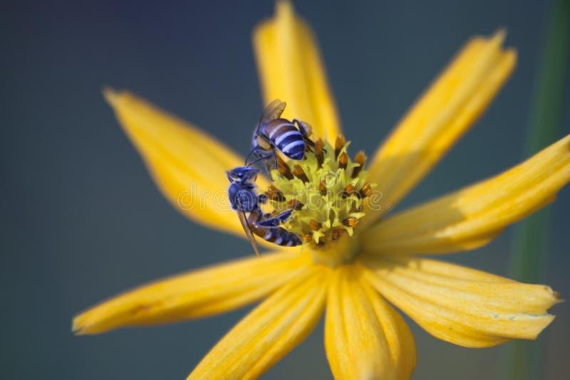 Abelha e flor. imagem de stock