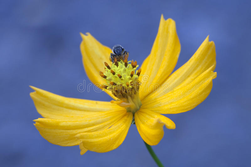 Abelha e flor. foto de stock royalty free