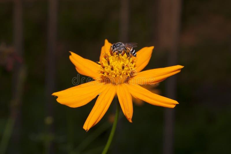 Abelha e flor. imagens de stock royalty free
