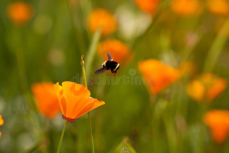 Abelha e flor da aproximação de aterragem fotografia de stock