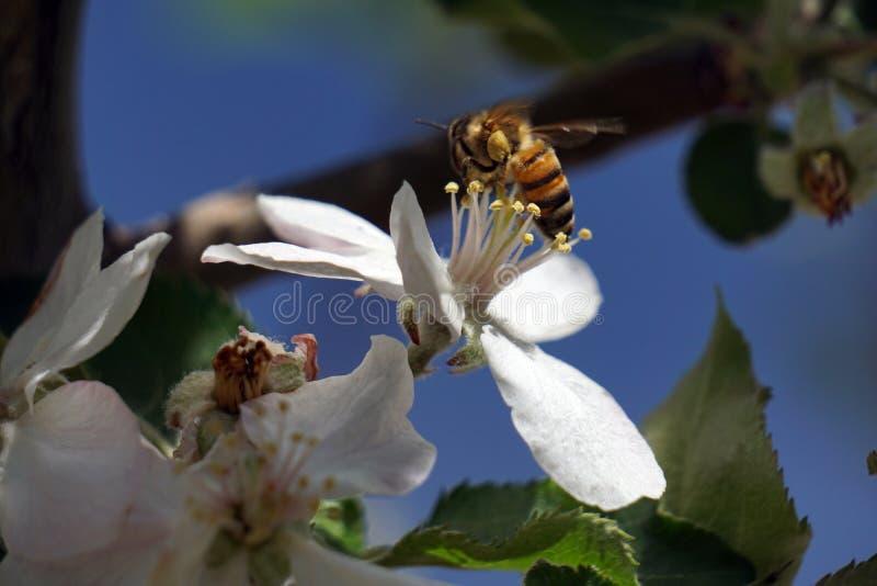 Abelha e flor da maçã fotos de stock