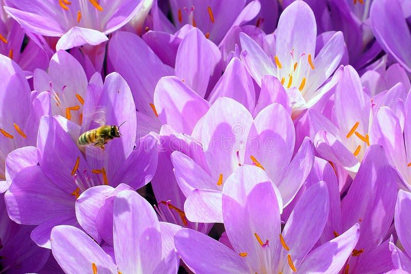 Abelha e flores imagens de stock royalty free
