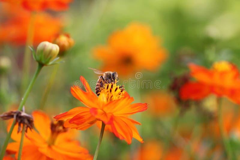 Abelha e flores fotografia de stock