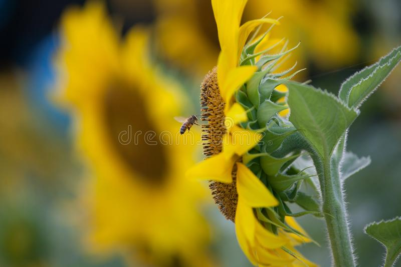 A abelha e o girassol blomming foto de stock