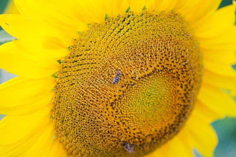 A abelha e o girassol blomming fotografia de stock