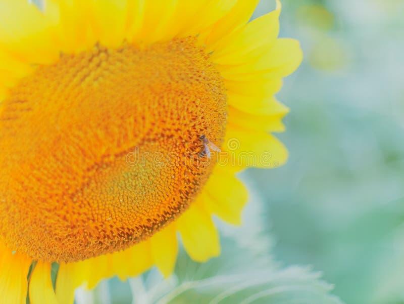 A abelha e o girassol blomming no campo de grama da flor foto de stock royalty free