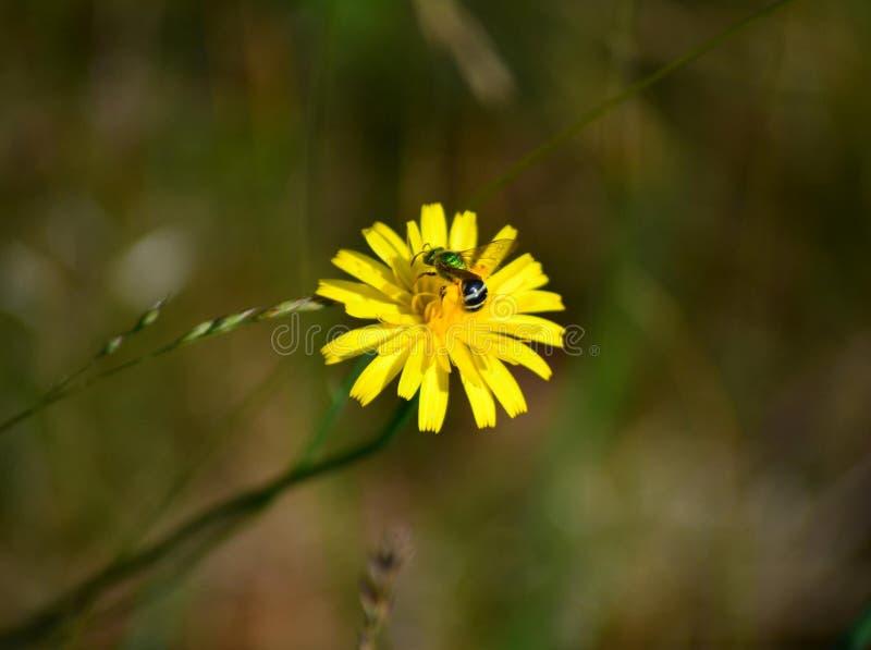 Abelha em Dandy Lion Flower amarelo imagens de stock