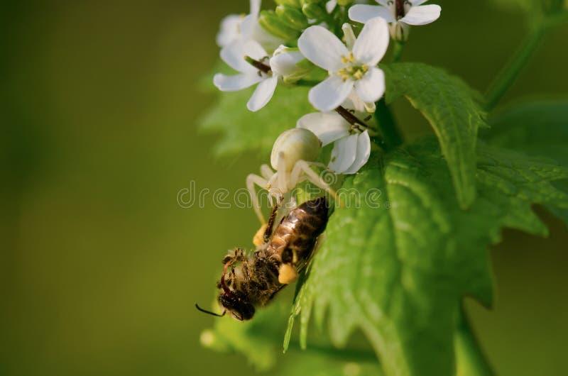 Abelha em flores brancas pequenas imagem de stock royalty free
