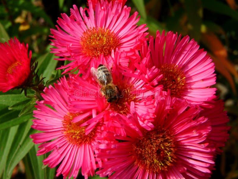 Abelha em um áster cor-de-rosa no jardim fotografia de stock