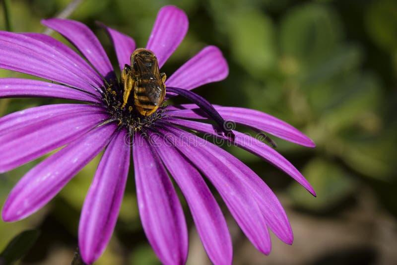 Abelha em uma flor fotos de stock