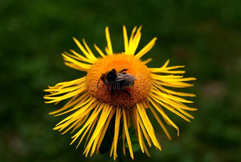 Abelha em uma flor amarela fotografia de stock royalty free