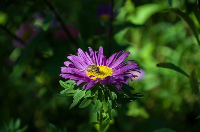 Abelha em uma flor bonita do áster imagens de stock royalty free