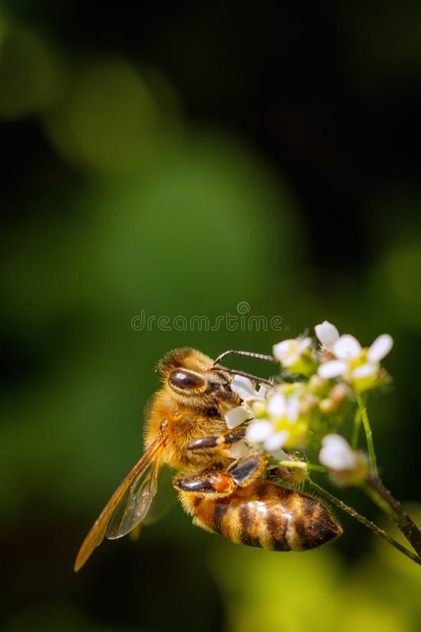 Abelha em uma flor branca que recolhe o p?len e que recolhe o n?ctar para produzir o mel na colmeia imagem de stock