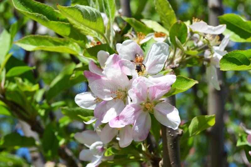 Abelha em uma flor calma branca e cor-de-rosa da maçã foto de stock royalty free