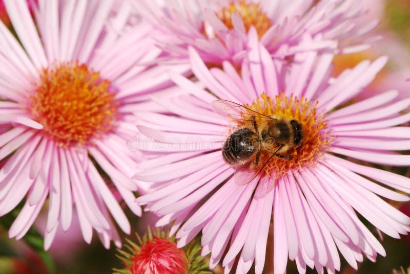 Abelha em uma flor cor-de-rosa imagem de stock