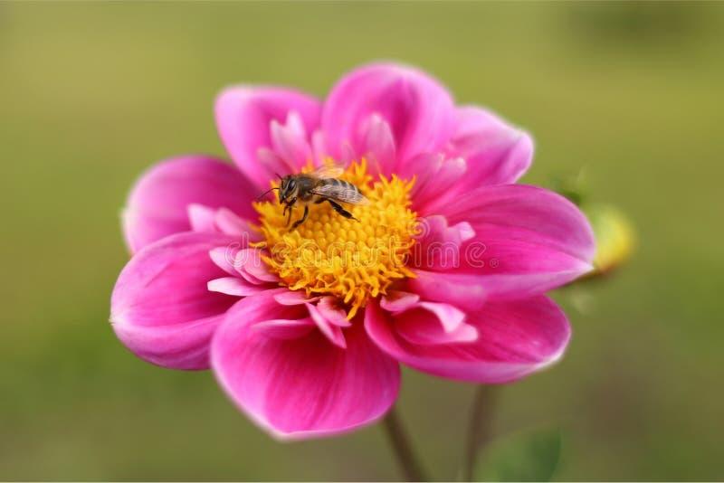 Abelha em uma flor cor-de-rosa imagens de stock