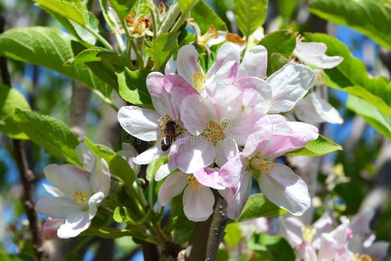 Abelha em uma flor da maçã fotos de stock royalty free