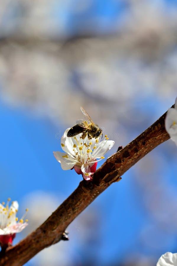 Abelha em uma flor do abricó fotografia de stock royalty free