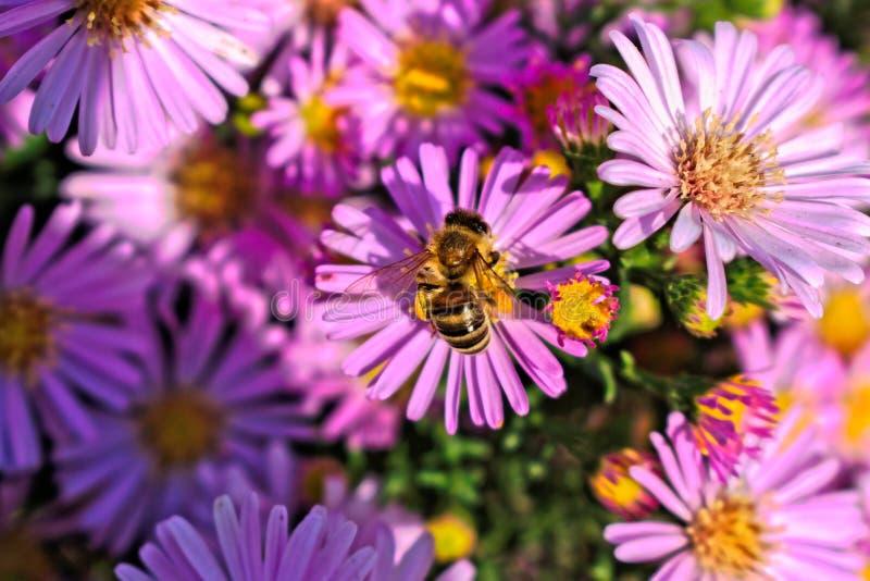 Abelha em uma flor roxa imagem de stock
