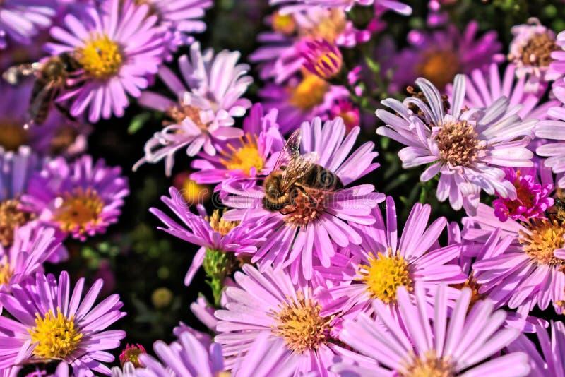 Abelha em uma flor roxa fotos de stock