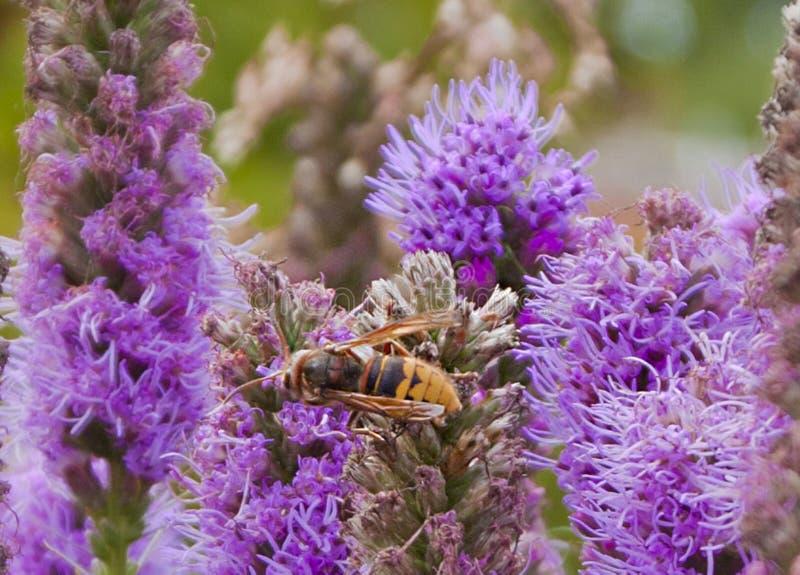 Abelha em uma flor violeta fotos de stock