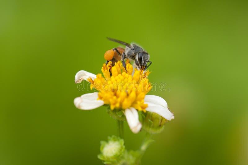 A abelha está recolhendo o pólen da flor fotografia de stock