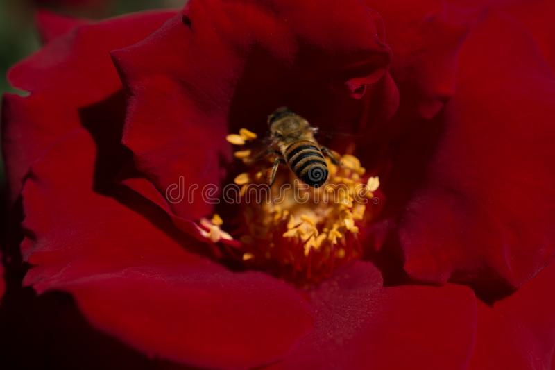 A abelha est? alimentando no p?len da flor foto de stock