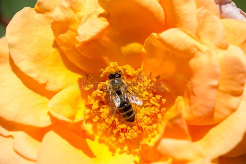 A abelha est? alimentando no p?len da flor imagem de stock