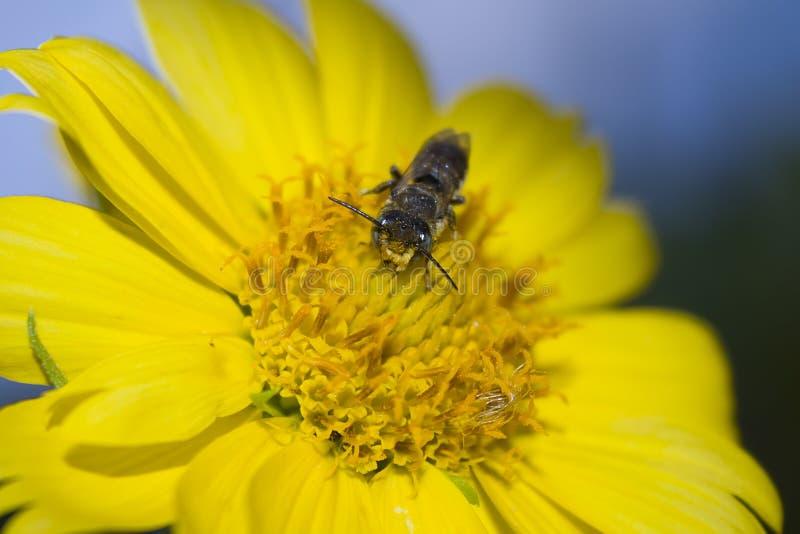 Abelha listrada cinzenta em uma flor amarela imagem de stock