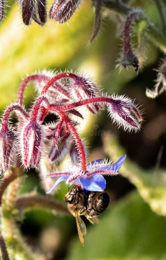 Abelha macro e flores azuis imagem de stock royalty free