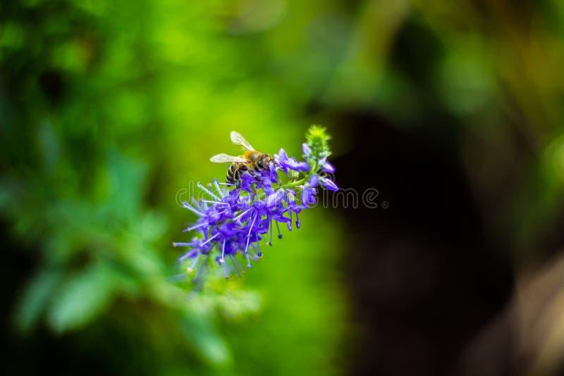 Abelha na flor fotos de stock royalty free