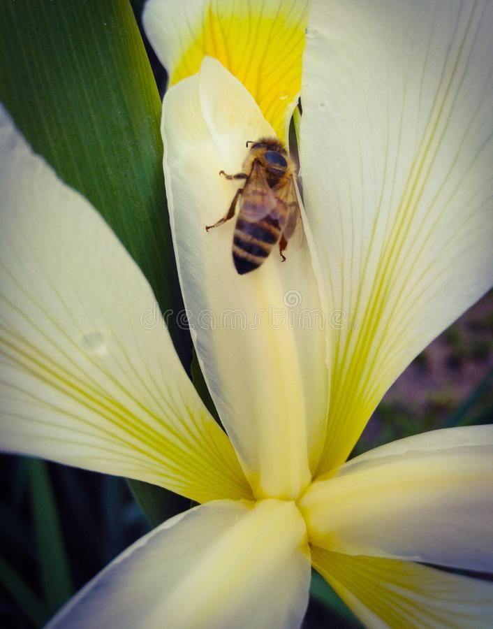 Abelha na flor branca amarela fotos de stock