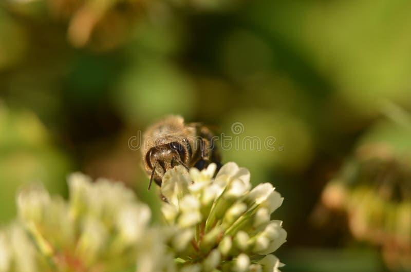 Abelha na flor da alfafa imagem de stock