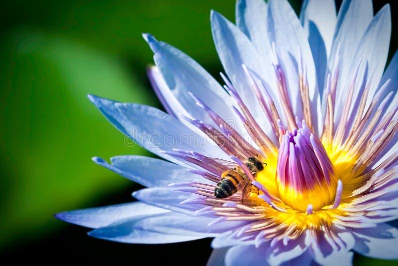 Abelha na flor de lótus azuis imagem de stock