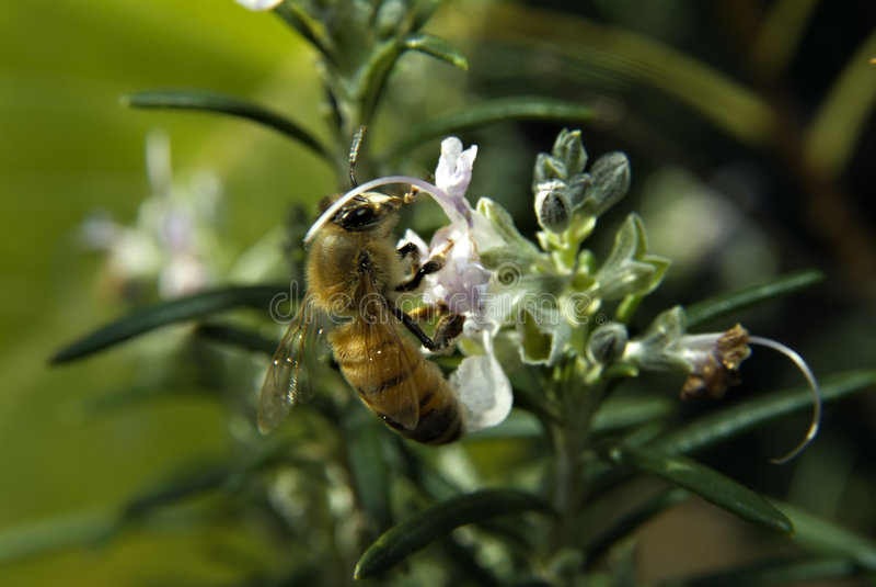 Abelha na flor de Rosemary fotos de stock royalty free