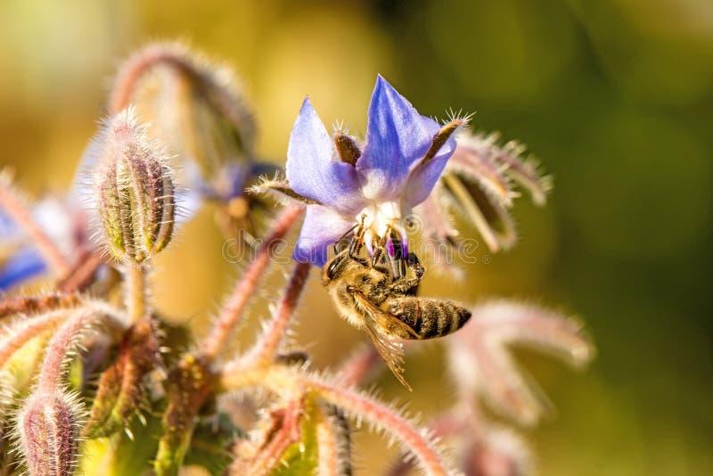 Abelha na flor de um borage fotos de stock