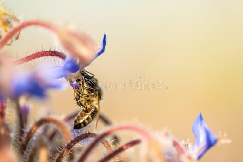 Abelha na flor de um borage foto de stock royalty free