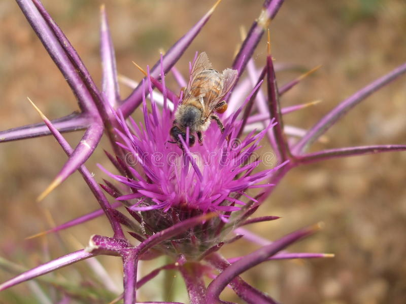 Abelha na flor do cardo fotografia de stock