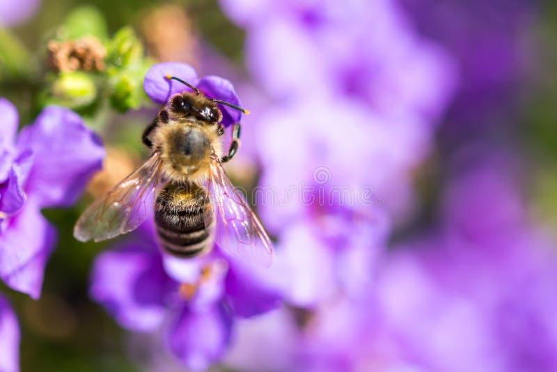Abelha na flor O inseto útil pequeno é de trabalho e de fatura o mel Abelha com a asa na flor Mola no campo de mim fotos de stock