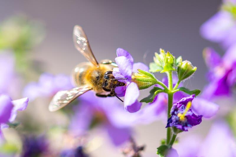 Abelha na flor O inseto útil pequeno é de trabalho e de fatura o mel Abelha com a asa na flor Mola no campo de mim imagem de stock