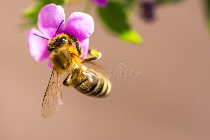 Abelha na flor O inseto útil pequeno é de trabalho e de fatura o mel Abelha com a asa na flor Mola no campo de mim imagens de stock royalty free