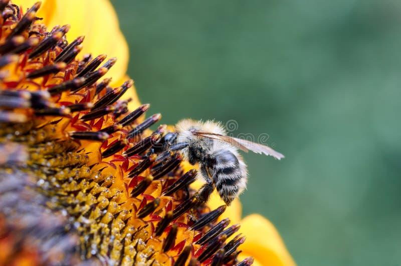 Abelha na flor que recolhe o néctar Abelha do mel em diasy amarelo imagem de stock