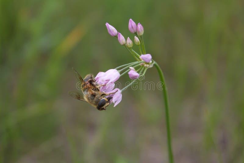 A abelha na flor que recolhe o pólen imagem de stock