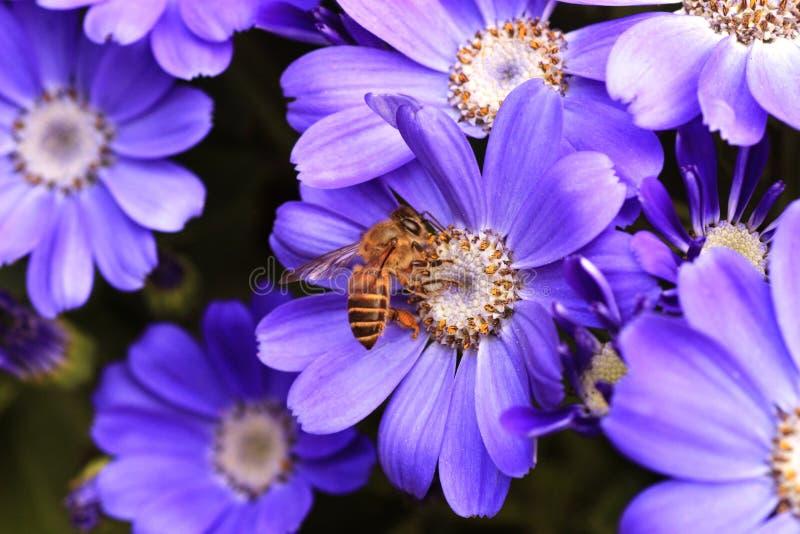 Abelha na flor roxa fotografia de stock