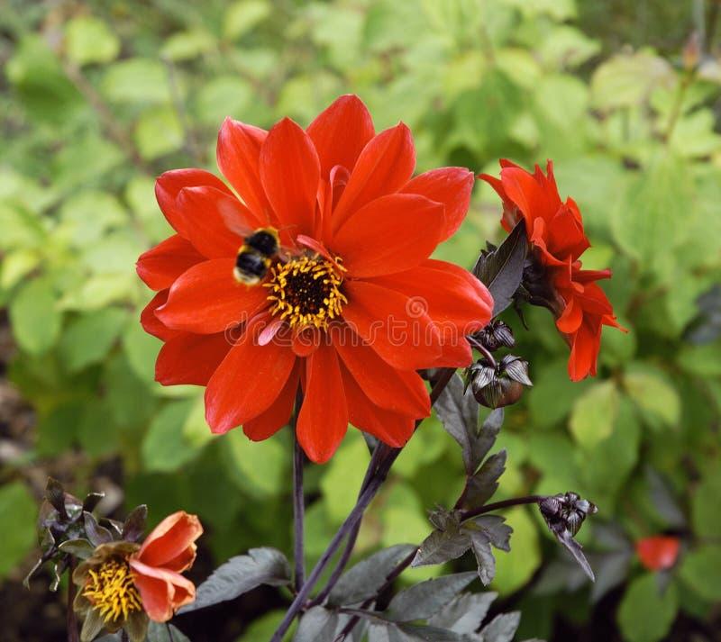 Abelha na flor vermelha imagem de stock royalty free