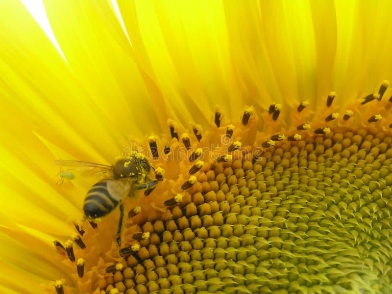 Abelha na inflorescência do girassol. imagens de stock