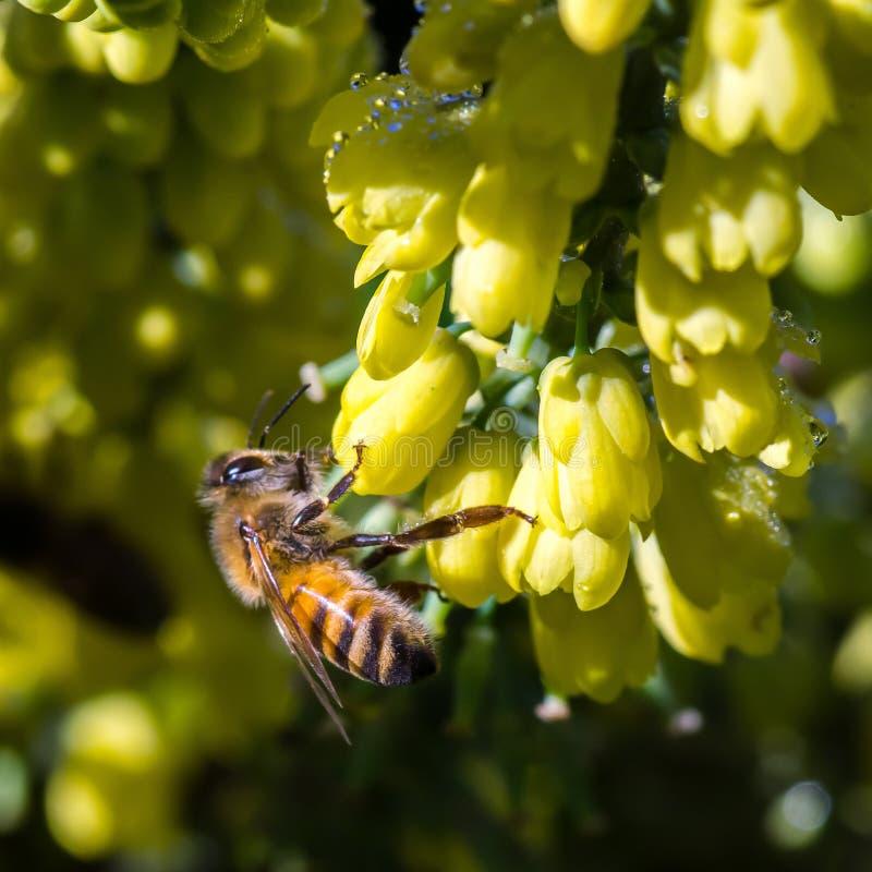 Abelha nas flores amarelas imagem de stock