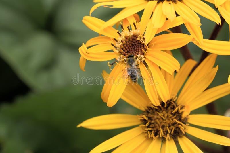A abelha no crisântemo amarelo fotografia de stock
